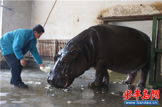 """探访青岛野生动物园 河马泡""""温泉""""过冬"""