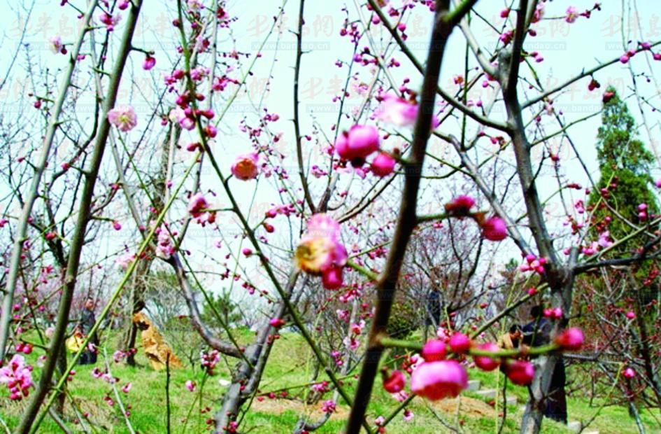 大珠山杜鹃花会月底绽放 十梅庵梅花节将开幕 - 青岛
