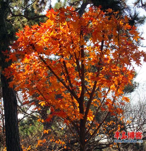 中山公园枫叶美-青岛西海岸新闻网