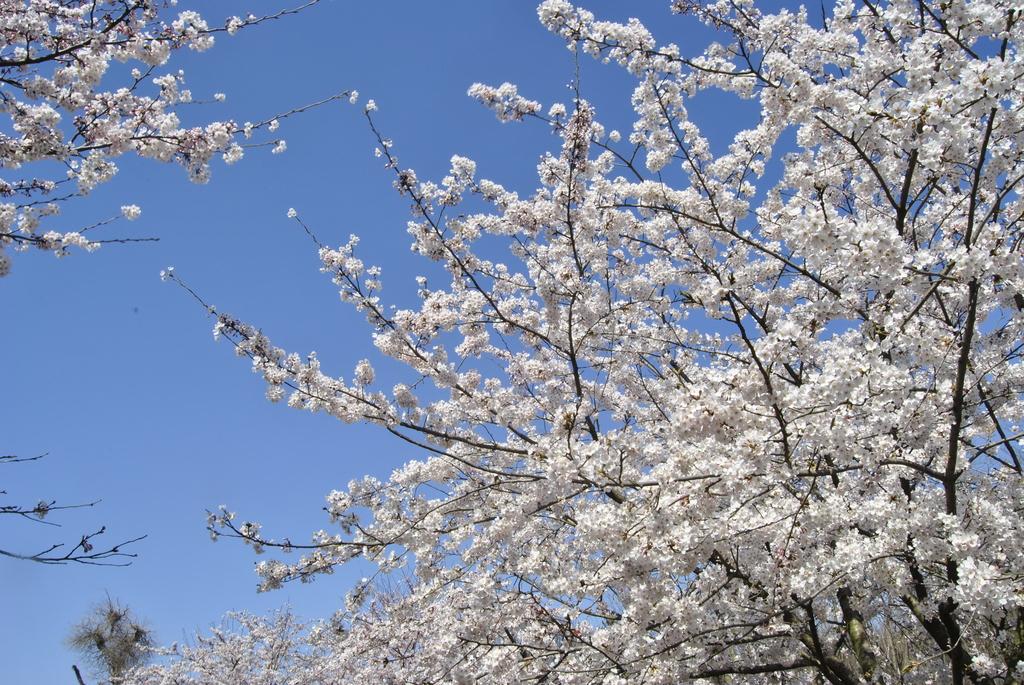 青岛中山公园看樱花