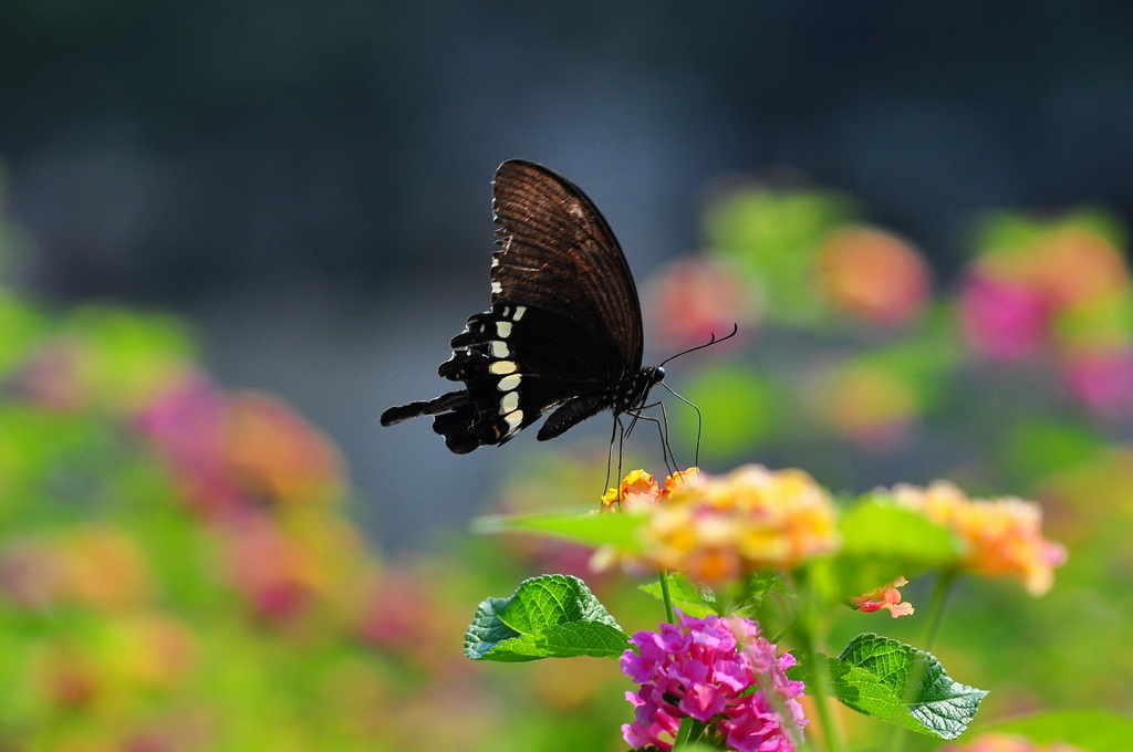 黑蝴蝶-青岛西海岸新闻网