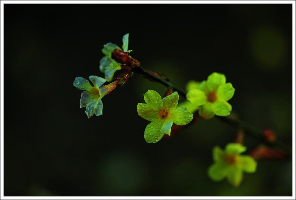 青岛迎春花-青岛西海岸新闻网