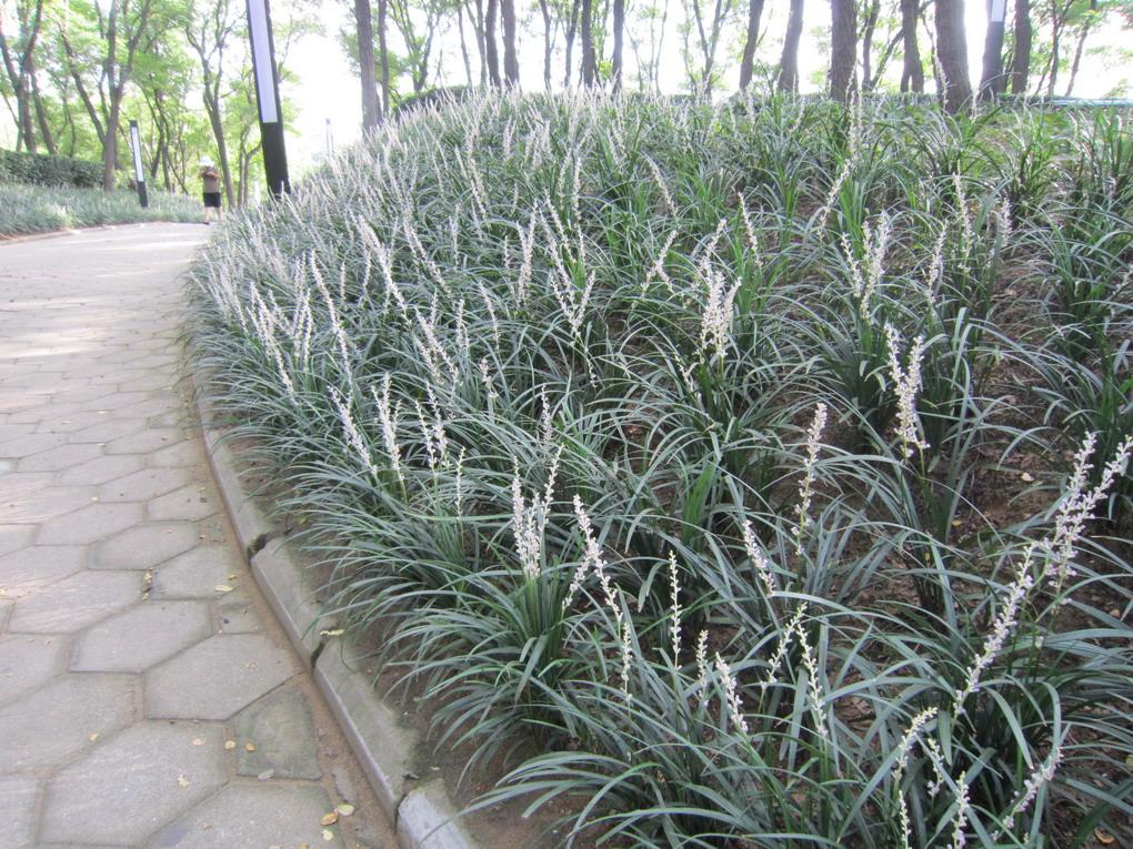 草�9�a���_以下是与麦冬草一起开放的其它花卉
