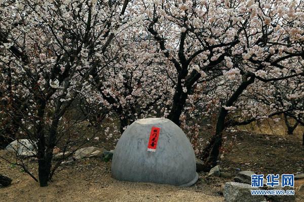 樱桃花开 扮美农家-青岛西海岸新闻网