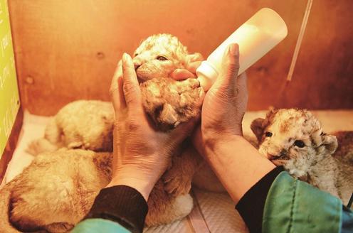 开发区野生动物世界新添五只狮宝宝