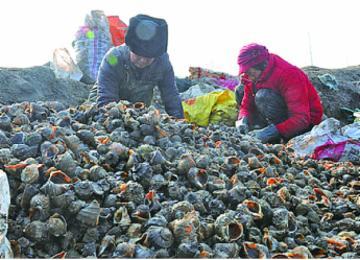 大海螺上岸:丁字湾千亩大海螺一天收获5000多斤