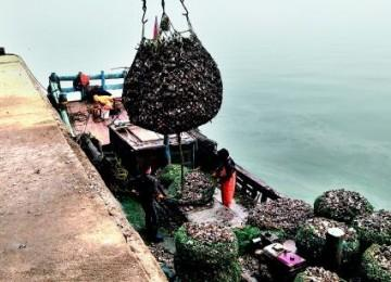 """海蛎子""""借壳""""上市 红岛渔港码头每天卖10万斤"""