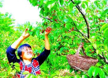 樱桃满枝头田园采摘忙