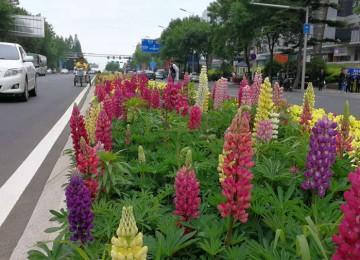 """五彩缤纷鲜花装点 岛城街道呈现新""""绿景"""""""