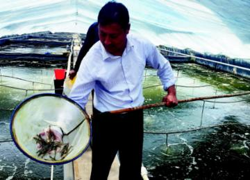 南美白对虾端上全国餐桌 将迎大批量上市