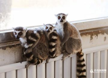 青岛野生动物世界开启动物过冬模式