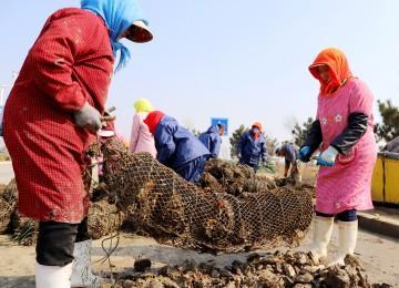 海蠣子肥美上市,市民可吃到5月份