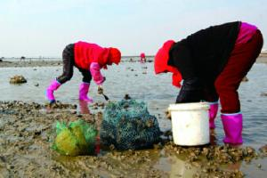 天气转冷野生海蛎子肥了 两小时能收获上百斤