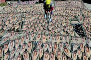 即墨垛石村年产260万斤鱼片 有30余年晒鱼历史