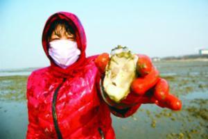 红岛宿流野生海蛎子丰收 渔民一小时挖上百斤