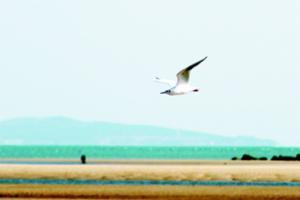 灵山湾畔海鸥飞舞