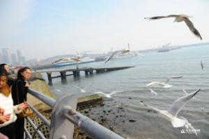 浮山湾海域退大潮 游人与海鸥亲密接触