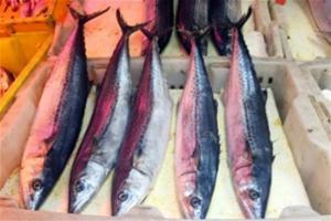 渔船回港带来春鲅鱼 5月1日休渔女婿们早打算
