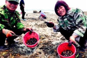 一挖一小桶!第十四届青岛红岛蛤蜊节昨开幕
