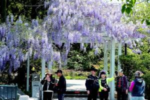 中山公园紫藤开串串香 游客纷纷驻足合影留念