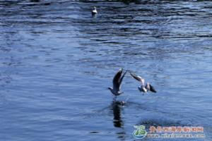 初春渐暖 海鸥飞舞