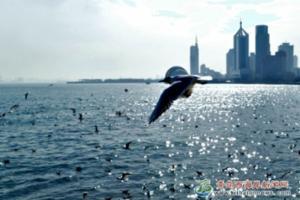 几百只海鸥:青岛栈桥海域嬉戏