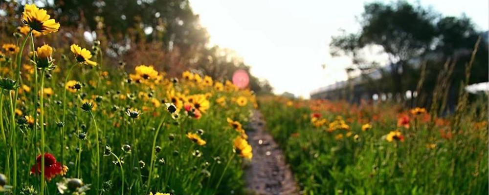 看胜利桥下的隐世美景 漫山遍野小黄花