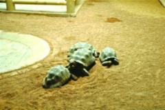象龟引来大批粉丝