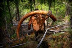 海盗挖掘猛犸象牙化石非法倒卖