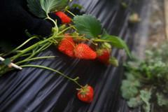 近郊草莓采摘游升温