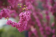 青岛迎来紫荆盛花期