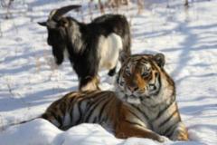 """俄罗斯动物园再""""撮合""""虎羊同笼"""