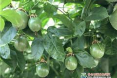 热带水果新区栽