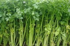 芹菜:叶比茎更有营养