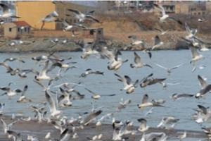 青岛大批银鸥落户渔村 码头抢食场面壮观