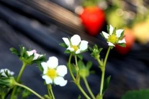 冬季一抹红-草莓花