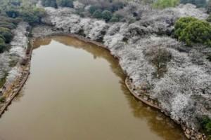 樱花盛开吸引游人