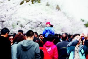 中山公园樱花盛开