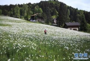 """瑞士盛开""""五月之雪"""""""
