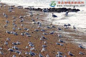 数千海鸥迁徙越冬