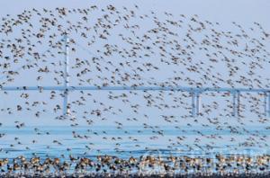 """胶州湾畔""""鸟浪""""来袭"""