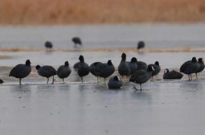 白沙河畔越冬候鸟