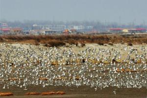 候鸟迁徙过境胶州湾