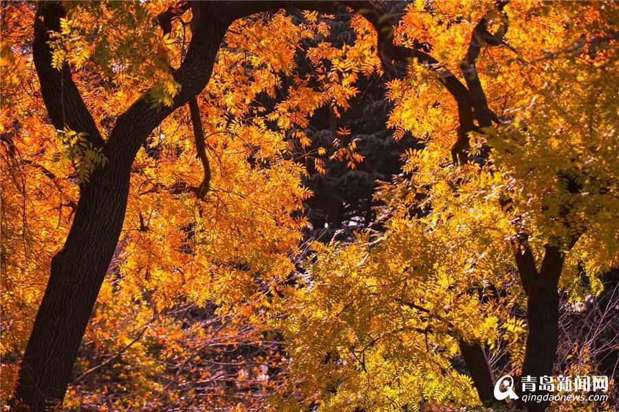 金色八大关风情万种 层林尽染如童话世界-青岛西海岸