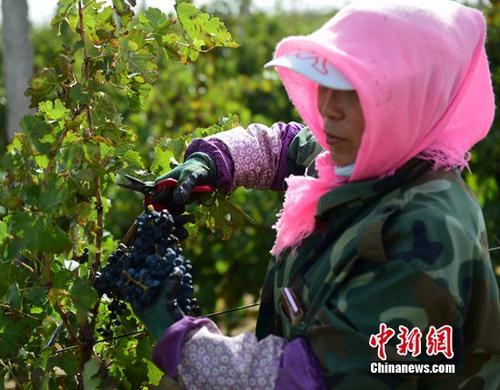 中國種植的十大葡萄品種:你知道有哪些嗎?_歐洲杯彩票app