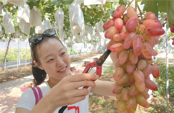 第32屆青島大澤山葡萄節開幕 活動將持續到10月31日_歐洲杯彩票app